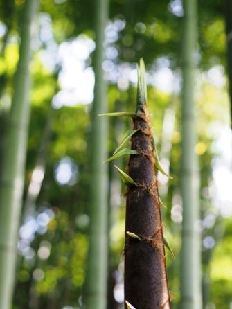 Bambus gehört zu den am schnellsten wachsenden Pflanzen
