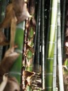 Viele Tempel in Kyoto sind von Bambushainen gesäumt